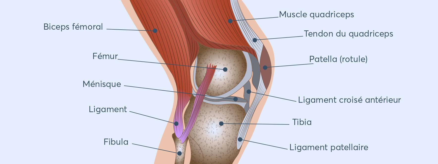 Anatomie genou - Blogue du Réseau des massothérapeutes