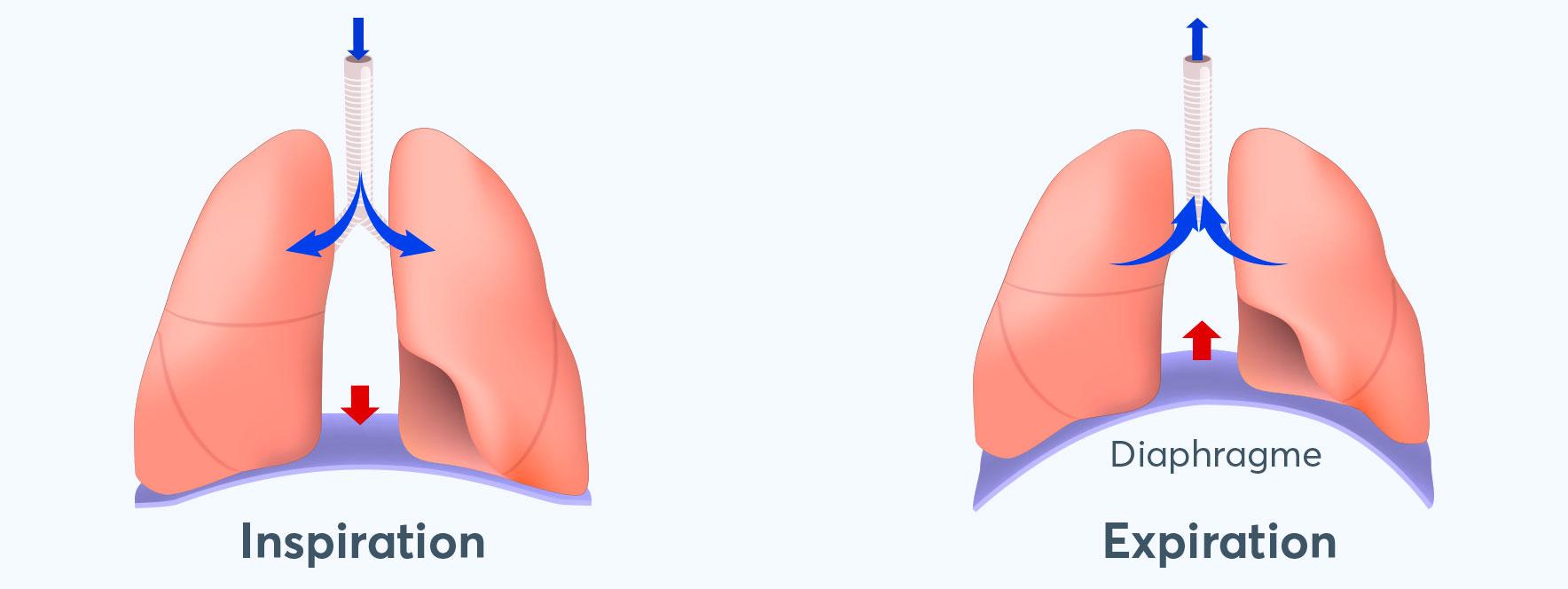 Qu'entend-on par respiration abdominale ou thoracique ? Blogue du Réseau