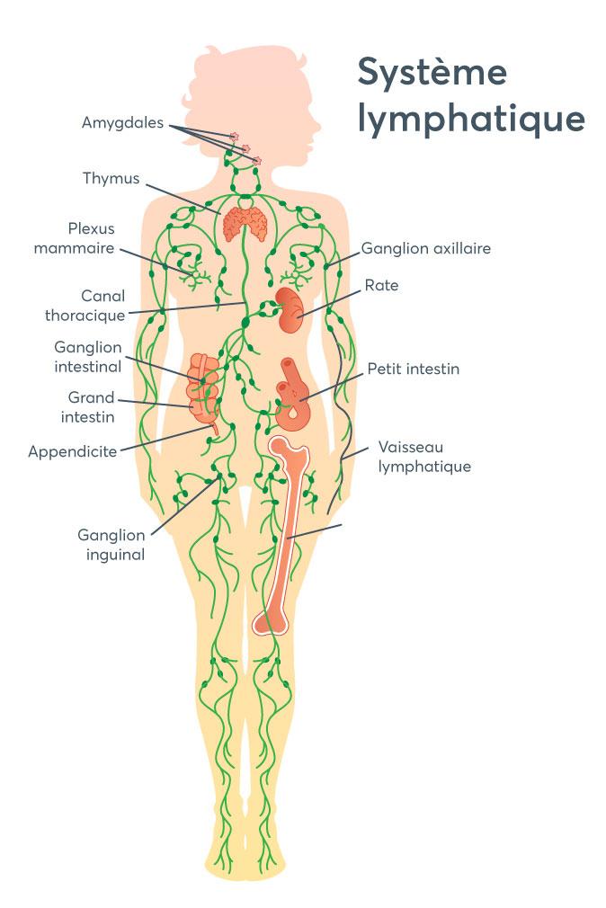 Système lymphatique - blogue du Réseau